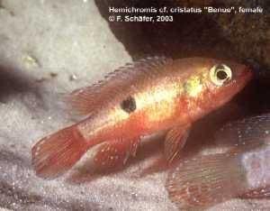 """Hemichromis cf. cristatus """"Benue"""""""