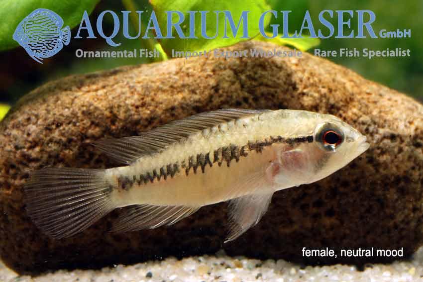 624624-apistogramma-macasteri-tame-frau-neutral