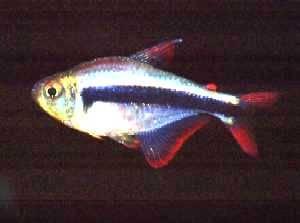 Hyphessobrycon sp. Red Fin Peru