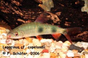 Leporinus cf. copelandi