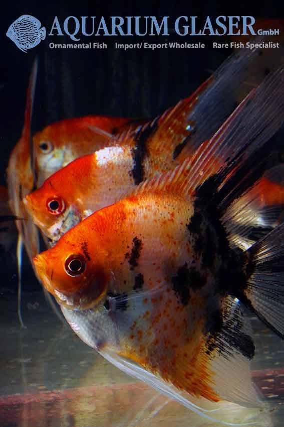 Scalare Red Devil Show Size Aquarium Glaser Gmbh
