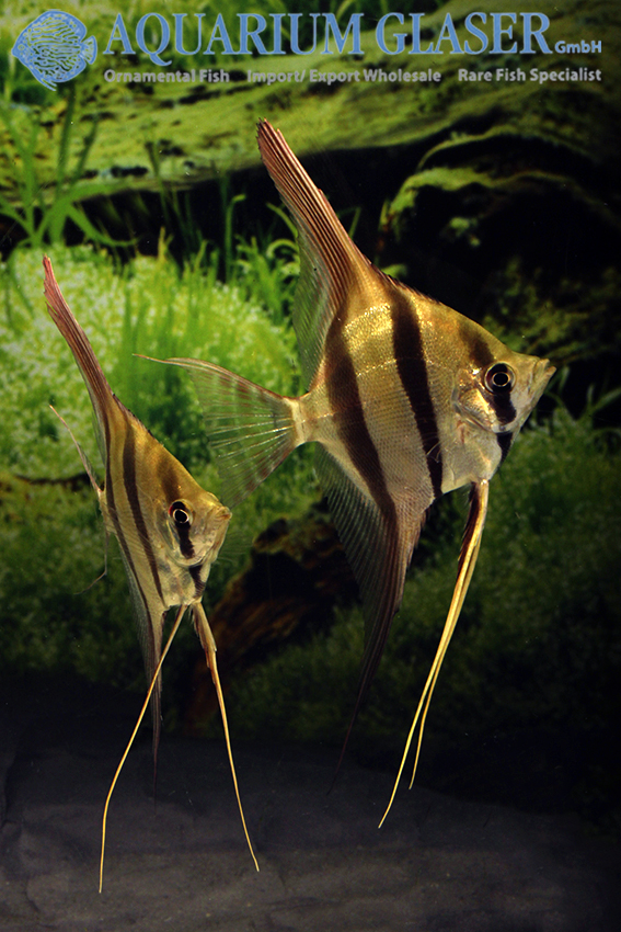 wonderful bred altum angels available aquarium glaser gmbh