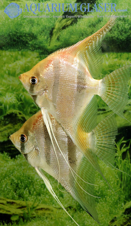 """Pterophyllum """"Santa Isabel"""" - Aquarium Glaser GmbH"""