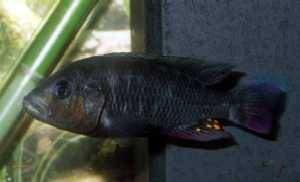 Haplochromis sp. Mburo Blacky