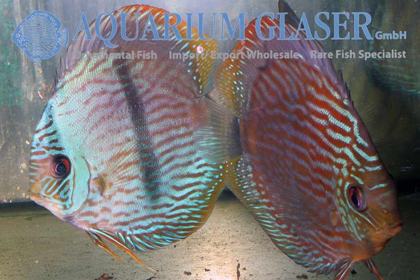 High season for wild discus aquarium glaser gmbh for Fish s wild