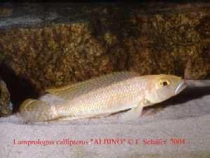 Lamprologus callipterus ALBINO