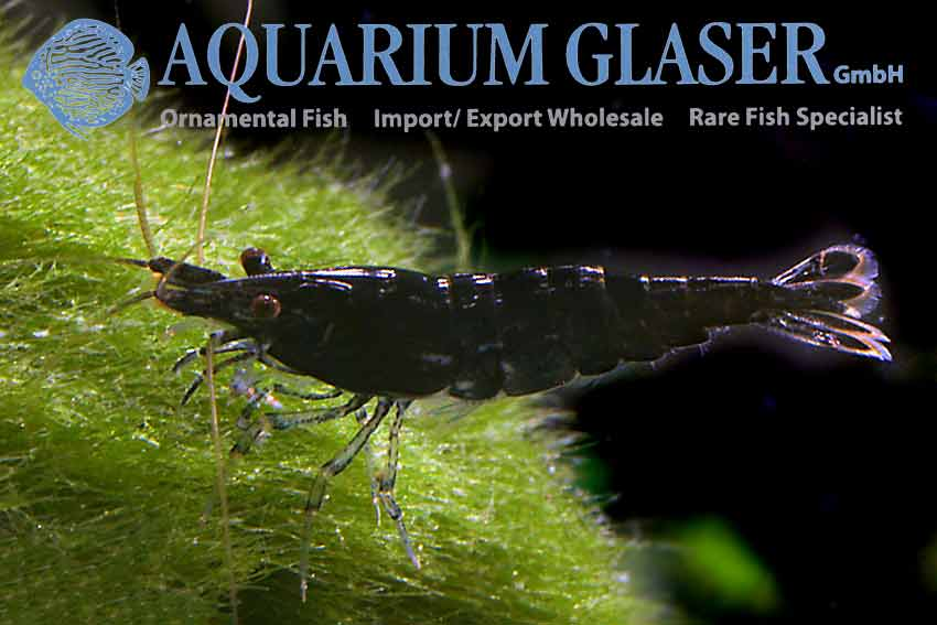 Neocaridina davidi Black Choco Shrimp