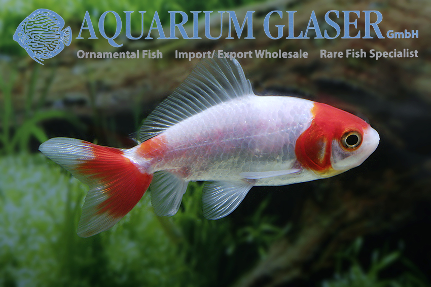 Wakin Goldfish Hoe Kim Aquarium Glaser Gmbh