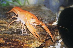 """Procambarus clarkii """"Orange"""""""