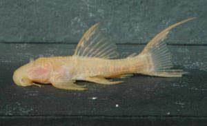 """Pseudoacanthicus spec. """"Albino Titanic"""" L 273"""