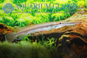 Hemirhamphodon kuekenthali