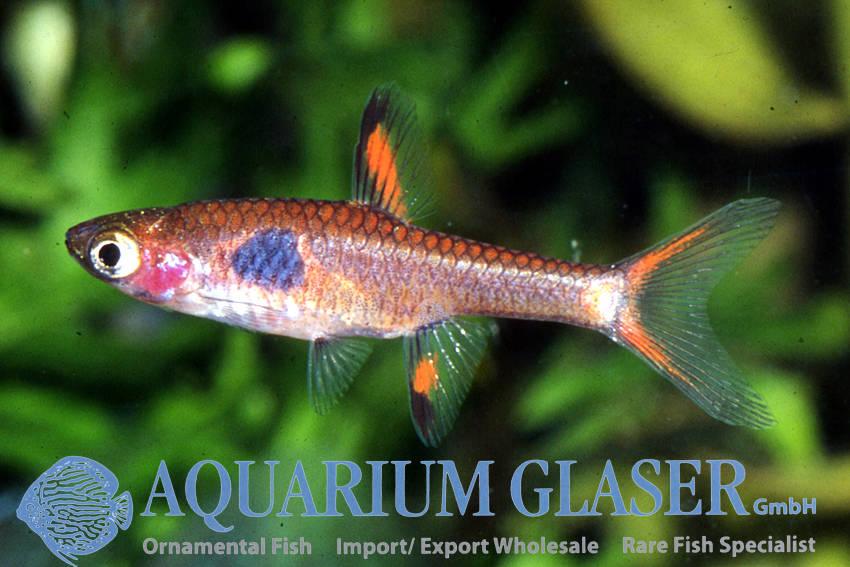Boraras micros - Aquarium Glaser GmbH