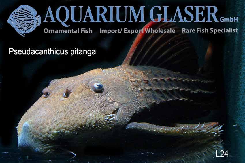 L24 wurde beschrieben: Pseudacanthicus pitanga