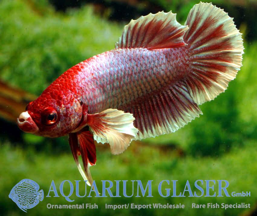 Betta splendens shortfin elephant ear aquarium glaser gmbh for Elephant ear betta fish