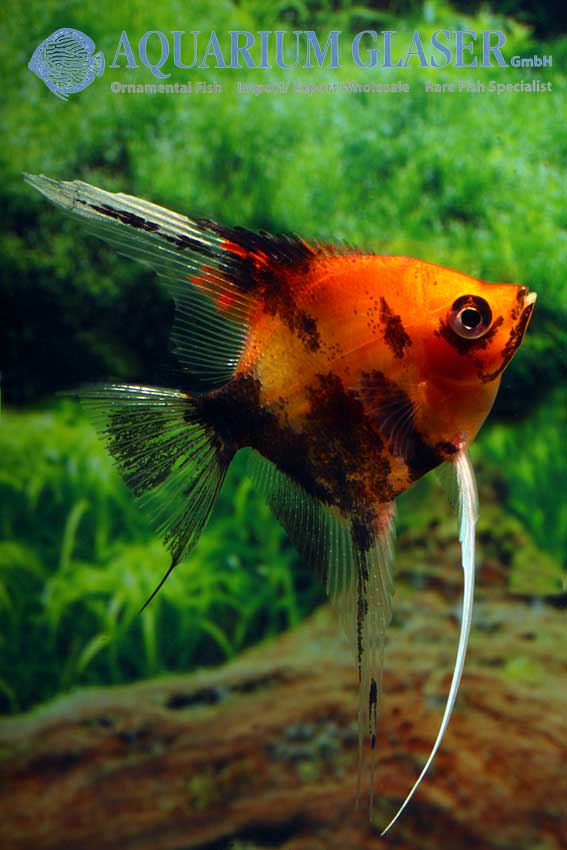 Scalare red devil aquarium glaser gmbh for Skalar aquarium