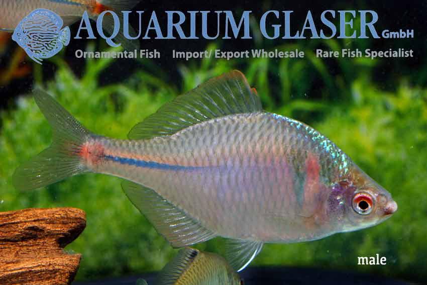 rhodeus ocellatus aquarium glaser gmbh. Black Bedroom Furniture Sets. Home Design Ideas