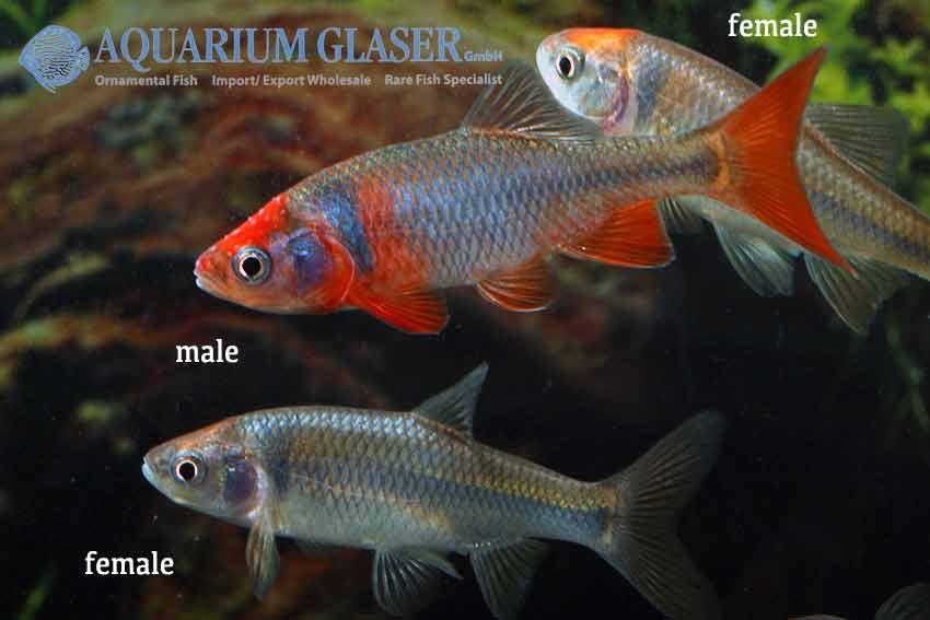 Cyprinella lutrensis notropis lutrensis aquarium for Elritzen im gartenteich