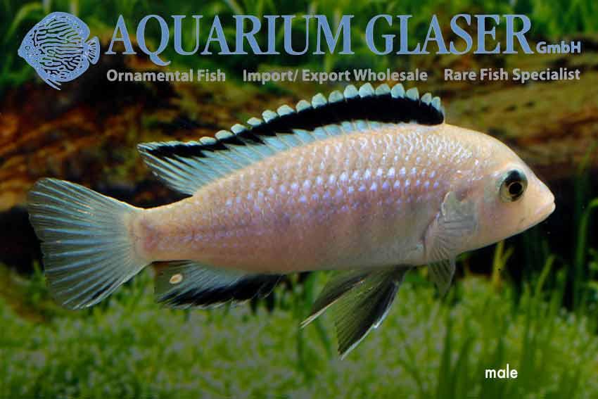 Labidochromis caeruleus WHITE - Aquarium Glaser GmbH  Labidochromis c...