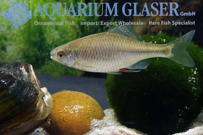 European Bitterling - Rhodeus amarus - Aquarium Glaser GmbH