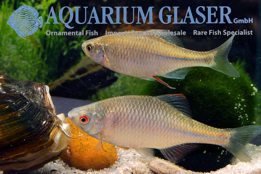 European bitterling rhodeus amarus aquarium glaser gmbh for Bitterlinge fische