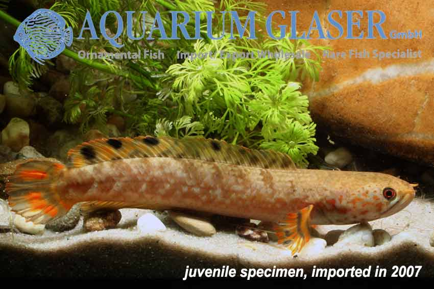 Channa sp aff bleheri flame fin aquarium glaser gmbh for Elritzen im gartenteich