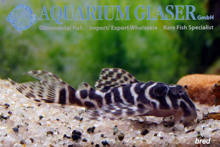 Hypancistrus sp  L66 King Tiger Pleco - Aquarium Glaser GmbH