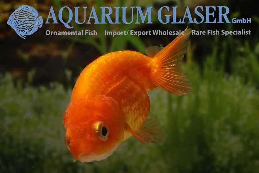 kleine goldfische ranchu gemischte farben aquarium