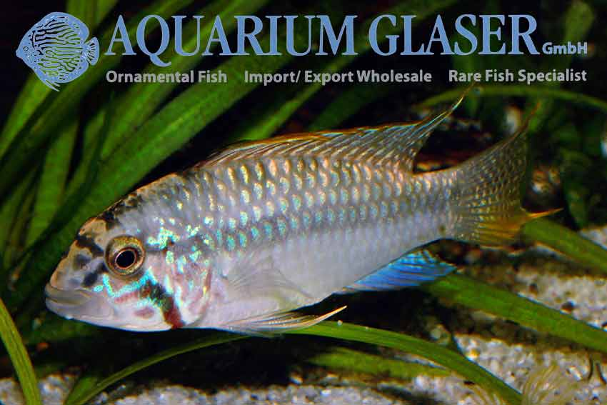 Apistogramma sp diamond face aquarium glaser gmbh for Ornamental fish pond supplies