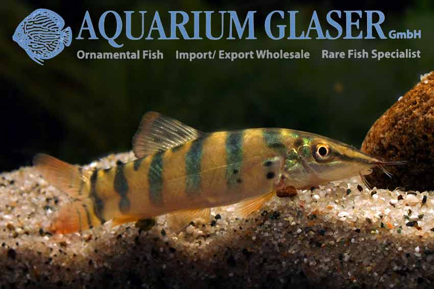 New tiger loaches from indonesia aquarium glaser gmbh for Den marketing fish tanks