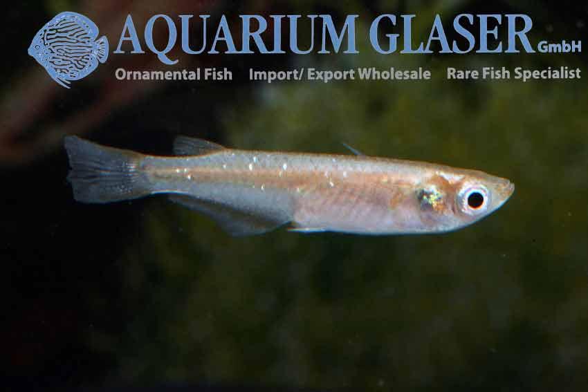 Oryzias latipes aquarium glaser gmbh for Elritzen im gartenteich