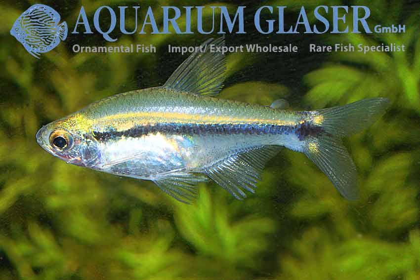 Serrapinnus Sterbai 7 Rays Mint Tetra - Aquarium Glaser -9659