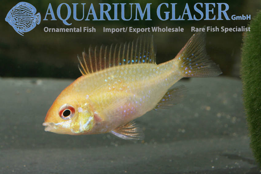 Wonderful Golden Rams Aquarium Glaser Gmbh