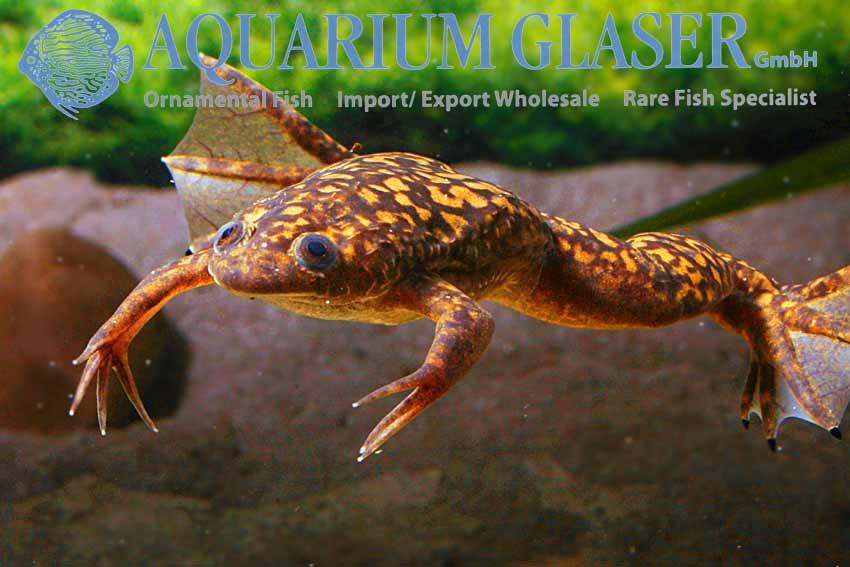Find A Code >> Xenopus laevis - Aquarium Glaser GmbH