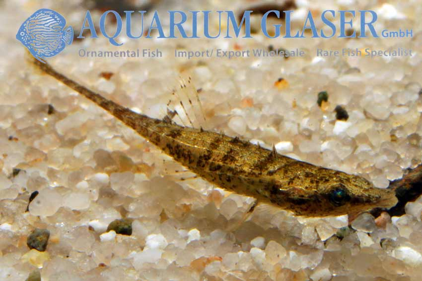 Indostomus paradoxus