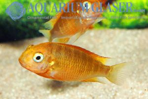Tropheus sp. Yellow