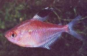 Hyphessobrycon pyrrhonotus