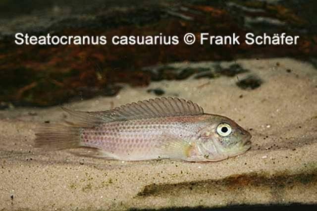 Steatocranus casuarius