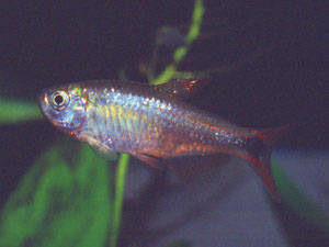 """Hasemania sp. """"Red"""""""