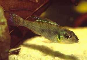 "Biotoecus sp. ""Tapajos – New"""