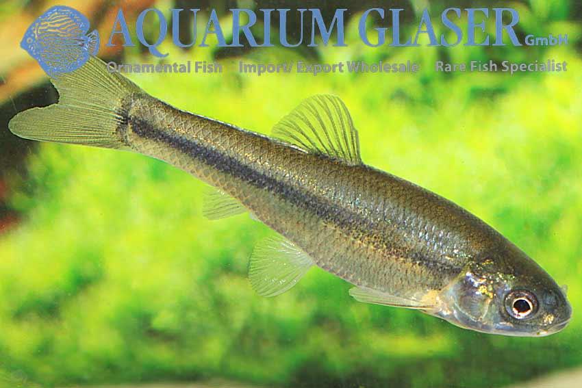 Pimephales Promelas Wild Colored Amp Gold Aquarium Glaser Gmbh