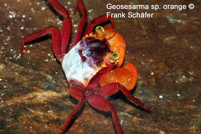 Geosesarma Sp Orange Aquarium Glaser Gmbh