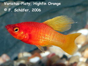 "Platy variatus ""Highfin Orange"""