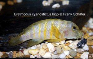 "Eretmodus cyanostictus ""Kigoma"""