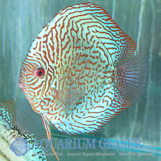 Discus champions on a visit aquarium glaser gmbh for Tiger striped fish