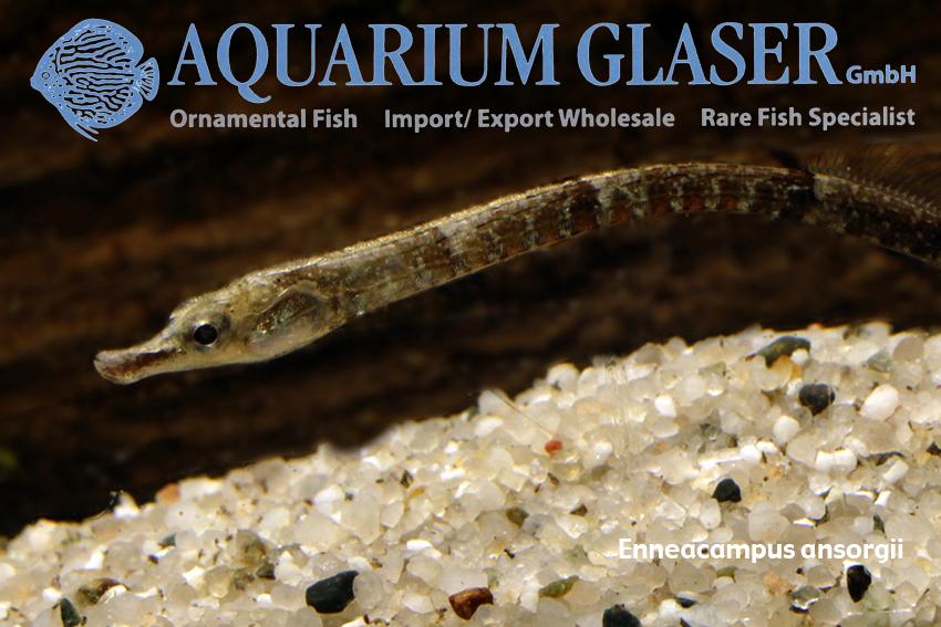 Freshwater pipefish from West Africa - Aquarium Glaser GmbH