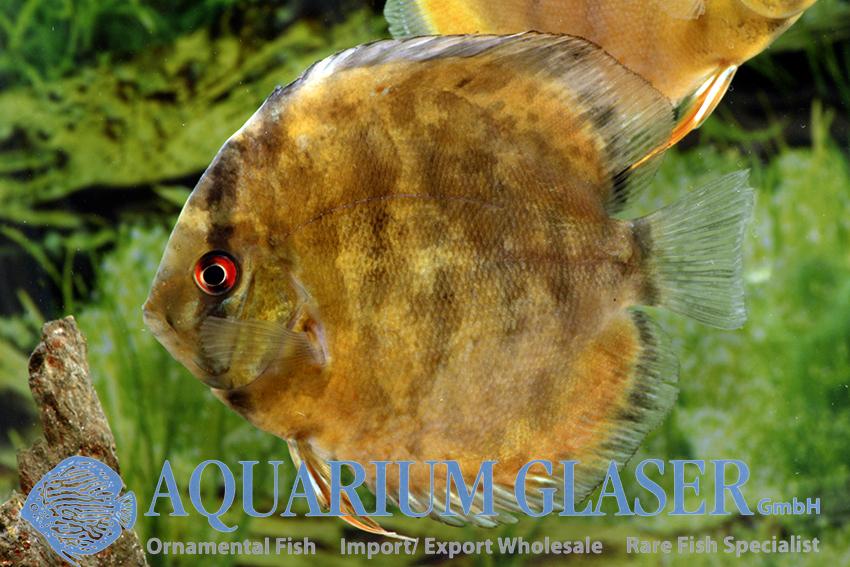 manaus aquarium suchen